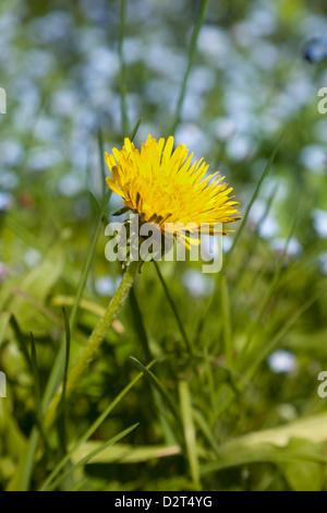 Common dandelion growing in the woods - Stock Photo