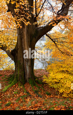 Autumn trees by Ullswater near Glenridding, Lake District National Park, Cumbria, England, United Kingdom, Europe - Stock Photo