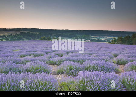 Lavender fields near to Sault, Vaucluse, Provence, France, Europe - Stock Photo