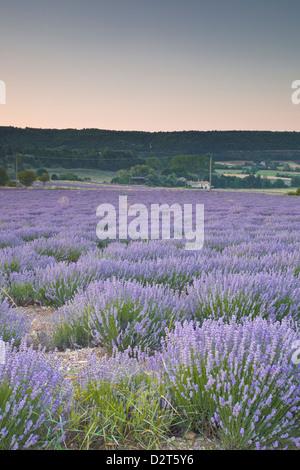 Lavender fields near Sault, Vaucluse, Provence, France, Europe - Stock Photo