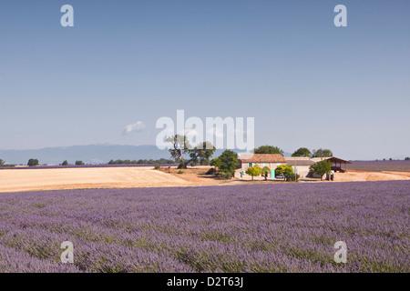 A house amongst lavender fields on the Plateau de Valensole, Alpes de Haute-Provence, Provence, France, Europe - Stock Photo