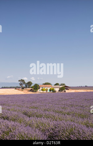 A house amongst lavender fields on the Plateau de Valensole, Alpes-de-Haute-Provence, Provence, France, Europe - Stock Photo