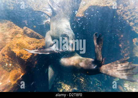 Galapagos fur seal (Arctocephalus galapagoensis) bulls mock-fighting underwater, Genovesa Island, Galapagos Islands, - Stock Photo