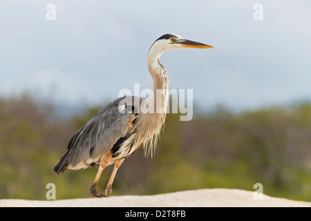 Adult great blue heron (Ardea herodias cognata), Las Bachas, Santa Cruz Island, Galapagos Islands, Ecuador, South - Stock Photo