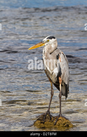 Adult great blue heron (Ardea herodias cognata), Cerro Dragon, Santa Cruz Island, Galapagos Islands, Ecuador, South America Stock Photo