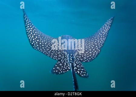 Spotted eagle ray (Aetobatus narinari) underwater, Leon Dormido Island, San Cristobal Island, Galapagos Islands, - Stock Photo