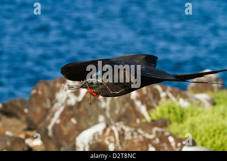 Adult male magnificent frigatebird (Fregata magnificens), Las Bachas, Santa Cruz Island, Galapagos Islands, Ecuador - Stock Photo
