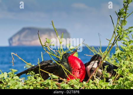 Adult male magnificent frigatebird (Fregata magnificens), North Seymour Island, Galapagos Islands, Ecuador - Stock Photo
