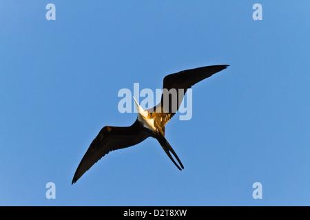Magnificent frigatebird (Fregata magnificens), Punta Pitt, San Cristobal Island, Galapagos Islands, Ecuador, South - Stock Photo