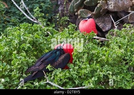 Adult male great frigatebirds (Fregata minor), Genovesa Island, Galapagos Islands, Ecuador - Stock Photo