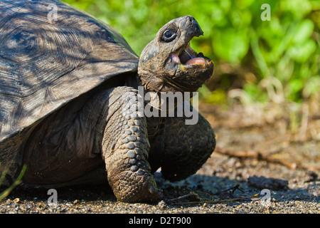 Wild Galapagos tortoise (Geochelone elephantopus), Urbina Bay, Isabela Island, Galapagos Islands, Ecuador - Stock Photo