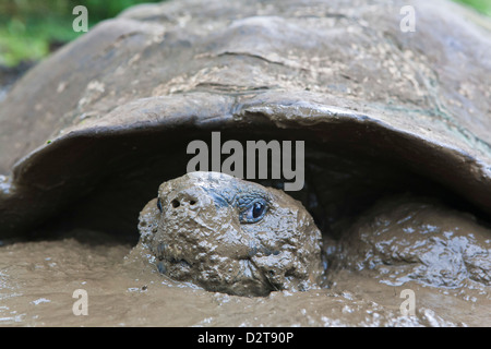 Wild Galapagos tortoise (Geochelone elephantopus), Santa Cruz Island, Galapagos Islands, Ecuador - Stock Photo