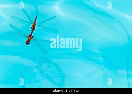 Dragonflies mating, Santa Cruz Island, Galapagos Islands, Ecuador, South America - Stock Photo