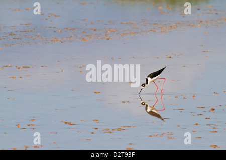 Adult black-necked stilt (Himantopus mexicanus), wading and feeding, Punta Cormorant, Floreana Island, Galapagos, - Stock Photo