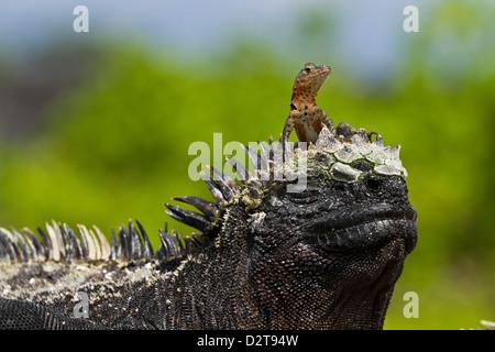 Lava lizard on top of marine iguana, Las Bachas, Santa Cruz Island, Galapagos Islands, Ecuador - Stock Photo