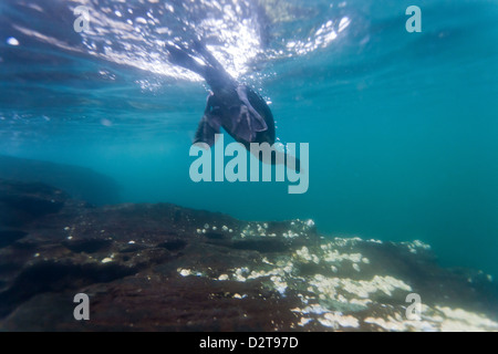 Flightless cormorant (Nannopterum harrisi) hunting underwater, Tagus Cove, Isabela Island, Galapagos Islands, Ecuador - Stock Photo