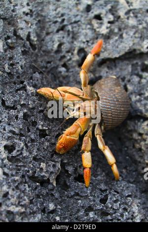 Hermit crab (Cerro Bruja), San Cristobal Island, Galapagos Islands, Ecuador, South America - Stock Photo