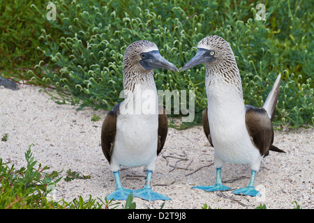 Blue-footed booby (Sula nebouxii) pair, North Seymour Island, Galapagos Islands, Ecuador, South America - Stock Photo