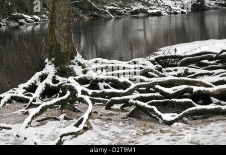 tree roots yorkshire dales national park - Stock Photo
