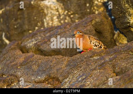 Galapagos dove (Zenaida galapagoensis), Puerto Egas, Santiago Island, Galapagos Islands, Ecuador, South America - Stock Photo