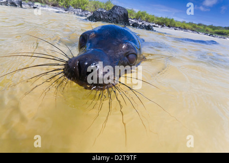 Galapagos sea lion (Zalophus wollebaeki) pup, Gardner Bay, Espanola Island, Galapagos Islands, Ecuador - Stock Photo