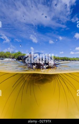 Galapagos sea lion (Zalophus wollebaeki) pup, Gardner Bay, Espanola Island, Galapagos Islands, Ecuador - Stock Photo