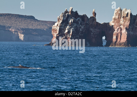 Adult fin whale (Balaenoptera physalus), Los Islotes, Gulf of California (Sea of Cortez), Baja California Sur, Mexico - Stock Photo