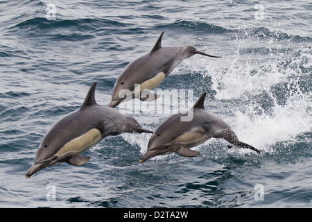 Long-beaked common dolphin (Delphinus capensis), Isla San Esteban, Gulf of California (Sea of Cortez), Baja California, - Stock Photo