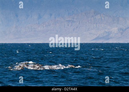 Long-beaked common dolphins (Delphinus capensis), Isla San Esteban, Gulf of California (Sea of Cortez), Baja California, - Stock Photo