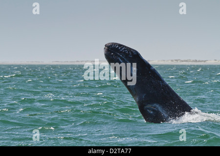 California gray whale (Eschrichtius robustus) calf breaching, San Ignacio Lagoon, Baja California Sur, Mexico, North - Stock Photo