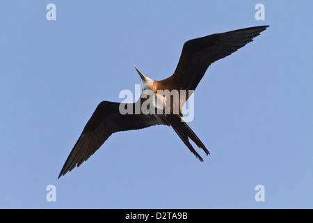 Magnificent frigatebird (Fregata magnificens), Gulf of California (Sea of Cortez),  Baja California Sur, Mexico, - Stock Photo