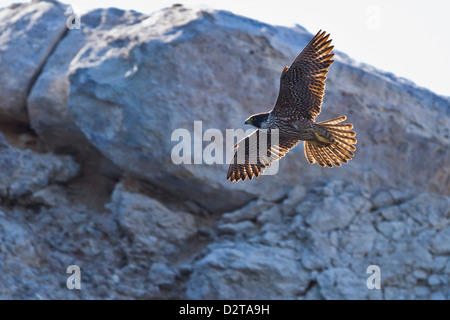 Adult peregrine falcon (Falco peregrinus), Isla Rasa, Gulf of California (Sea of Cortez), Baja California, Mexico, - Stock Photo