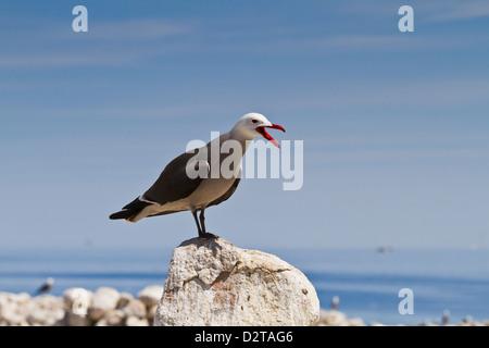Heermann's gull (Larus heermanni), Isla Rasa, Gulf of California (Sea of Cortez), Mexico, North America - Stock Photo