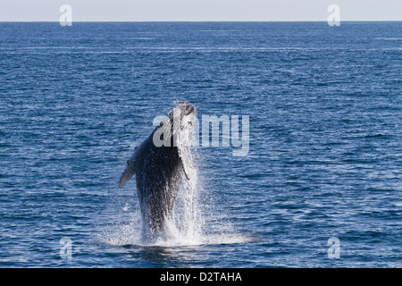Humpback whale (Megaptera novaeangliae) calf breach, Gulf of California (Sea of Cortez), Baja California Sur, Mexico - Stock Photo