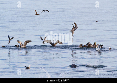 Brown pelicans (Pelecanus occidentalis) plunge-diving, Gulf of California (Sea of Cortez), Baja California, Mexico - Stock Photo