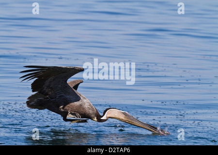Adult brown pelican (Pelecanus occidentalis) plunge-diving, Gulf of California (Sea of Cortez), Baja California, - Stock Photo