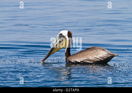 Adult brown pelican (Pelecanus occidentalis) with fish, Gulf of California (Sea of Cortez), Baja California, Mexico - Stock Photo