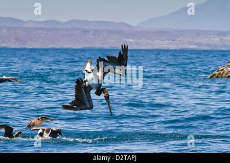 Juvenile brown pelican (Pelecanus occidentalis) plunge-diving, Gulf of California (Sea of Cortez), Baja California, - Stock Photo