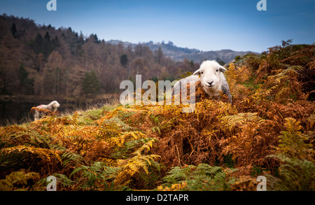 Herdwick sheep at Tarn Hows in the Lake District, England - Stock Photo