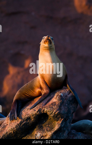 California sea lion (Zalophus californianus), Los Islotes, Baja California Sur, Gulf of California (Sea of Cortez), - Stock Photo