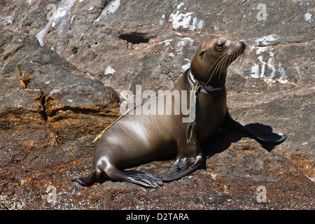 California sea lion pup entangled in net, Los Islotes, Baja California Sur, Gulf of California (Sea of Cortez), - Stock Photo