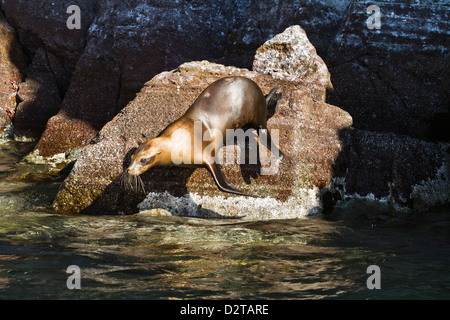 California sea lion (Zalophus californianus), Los Islotes, Baja California Sur, Gulf of California (Sea of Cortez), - Stock Photo
