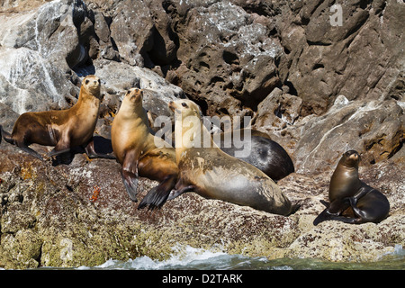 California sea lions (Zalophus californianus), Los Islotes, Baja California Sur, Gulf of California (Sea of Cortez), - Stock Photo