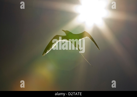 Adult red-billed tropicbird, Isla San Pedro Martir, Gulf of California (Sea of Cortez), Baja California, Mexico - Stock Photo