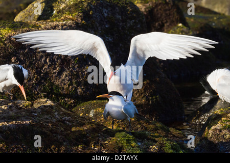 Elegant terns (Thalasseus elegans) mating, Isla Rasa, Gulf of alifornia (Sea of Cortez), Baja California, Mexico, - Stock Photo