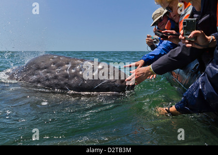 California gray whale (Eschrichtius robustus) and excited whale watchers, San Ignacio Lagoon, Baja California Sur, - Stock Photo