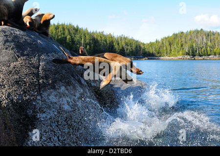 Stellar sea lions, Canada, North America - Stock Photo