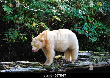 Spirit bear (Kermode bear), Great Bear Rainforest, British Columbia, Canada, North America - Stock Photo