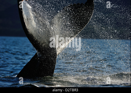 Humpback whale tail, Great Bear Rainforest, British Columbia, Canada, North America - Stock Photo
