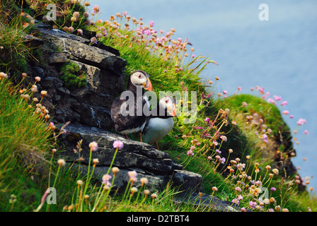 Two puffins, Westray, Orkney Islands, Scotland, United Kingdom, Europe - Stock Photo
